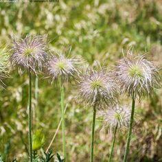 Höytyviä - Pulsatilla vulgaris lännenkylmänkukka tarhakylmänkukka…