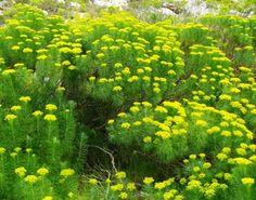 Hymenolepis parviflora Coastal, Sea, Park, Garden, Plants, Garten, Lawn And Garden, The Ocean, Parks