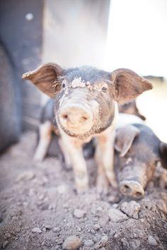 INGREDIENTS 2kg Pork Belly, on the bone, skin on scored (from Woolumbi Farm)…