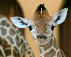 Giraffe bay pictures Wallpapers | Giraffe HD Wallpapers Download