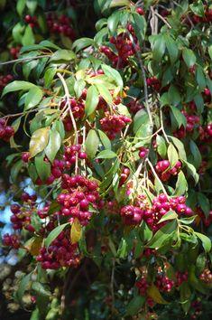 Australian Cherry Bush. Not California native but still yummy. Taste like watermelon.