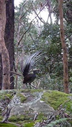 Superb Lyrebird by Steve Church Maluku Islands, What Is A Bird, Black And White Birds, Australia Animals, Australian Birds, Bird Perch, Exotic Birds, Bird Species, Bird Cage