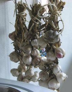 Zelf knoflook kweken in de moestuin - knoflook planten in het najaar en oogsten in de zomer