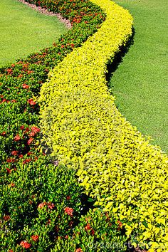 Shrubs from Ixora 'Sunkist' under the family of Rubiaceae, with red flower and Ficus microcarpa 'Golden' from the family of Moraceae (yellow...