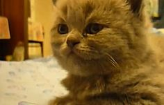 Narcoleptic Kitten -- The Sleepy Animal Video of the Day!!!  ... from PetsLady.com ... The FUN site for Animal Lovers