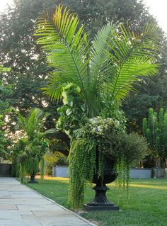 tropical garden Chanticleer, Ravenea rivularis, also called Majesty Palm. Container Gardening Vegetables, Container Plants, Outdoor Planters, Outdoor Gardens, Majesty Palm, Tropical Patio, Gemüseanbau In Kübeln, Garden Urns, Large Garden Planters