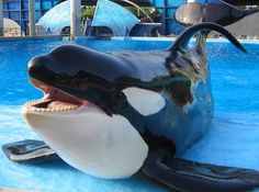 The captivity of orcas has got to stop. Tilikum has served his time for far too long now. Let him retire in Keiko's sea pen in signatures on petition) Orcas, Monarch Airlines, Seaworld Orlando, Impatience, Killer Whales, Italian Greyhound, Sea World, Ocean Life, Australian Shepherd