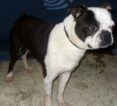 Teddy is a very muscular and strikingly handsome Boston Terrier, around 3 or 4 years of age, weighing around 26 pounds. He joined the ABTR family when he was rescued from an animal control facility while suffering from a painful corneal ulcer,...