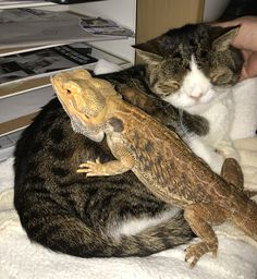 So this happened today! Monty and Hagrid have become friends and it is so cute to watch them walk around in the house together and it is totally #cutenessoverload to watch them snuggle together! Happy Caturday everyone #DragonSittingHagrid #HagridAndMonty #ChristmasWithHagrid #SnugglePals #Beardie #CatAndBeardie