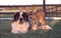 St. Bernard and Fawn.