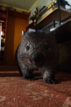 """""""You can have a nice house, or you can have wombats, and I've opted for wombats"""" - Bridport wildlife carer Norma Baker"""