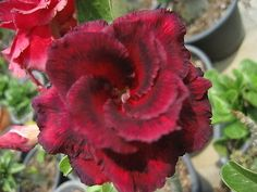 "Adenium Obesum 1Grafted Plant Rare "" NINJA ""     Home & Garden, Yard, Garden & Outdoor Living, Plants, Seeds & Bulbs   eBay!"