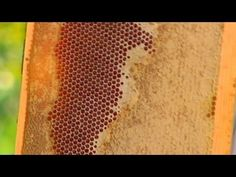 There Are Shocking Differences Between Raw Honey And The Processed Golden Honey Found In Grocery Retailers - see and Bees & Honey etc. Pure Honey, Golden Honey, My Honey, Honey And Cinnamon, Wild Honey, Honey Bees, Honey Health Benefits, Allen Smith, Weird Fish