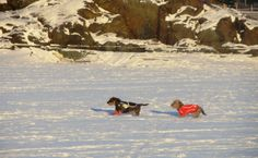 Dogs running at the frozen sea, temperature -15 degrees Celsius. Helsinki, Finland.