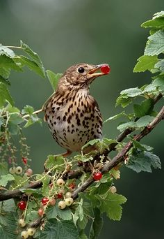 Song Thrush.The Song Thrush is smaller than either a Mistle Thrush or Blackbird and is less upright when standing.They take a variety of food but earthworms form a very important part of the diet. Towards the end of summer if the ground is too hard to obtain earthworms, they take snails and break the shells by tapping them on stones.The long breeding season lasts from March to August.The song thrush is widespread throughout Europe reaching east to Siberia.