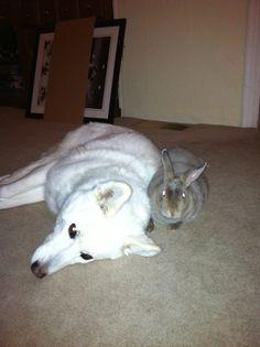 Snuggle-Bunnies!  My mini-rex and Korean Jindo.