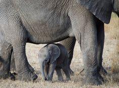 Elefantes en el Serengeti Fotografía de Steve Fujinaka