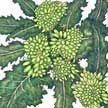 Broccoli : Rapini - Fast-growing; harvest leaves and stems early