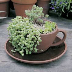 Tea cup and saucer planter.