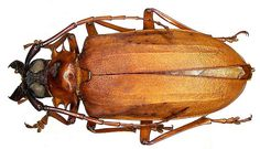 Dorysthenes granulosus (Thomson, 1860) by urjsa, via Flickr