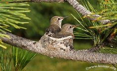 Baby Hummingingbirds in nest wide-angle