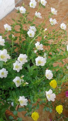 Portulaca Flowers, Portulaca Grandiflora, Flower Words, My Flower, Plant Pots, Potted Plants, Garden Shrubs, Kerala, Beautiful Flowers
