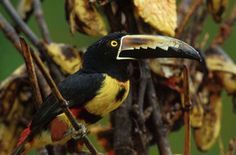 The Collared Aracari makes its home year-round in the tropical rainforests of southern Mexico and throughout Central America. The most distinctive physical chararcteristic of the Aracari is its amazing beak. Their beaks, about 4 inces long, are almost a quarter of the bird's entire body. South America Animals, Rainforest Animals, Rainforests, Central America, Mammals, Collars, Insects, Southern, Mexico