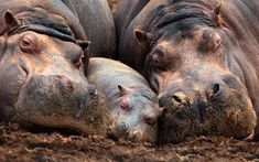 A family of hippos take a nap in the mud
