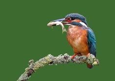 The kingfisher   10 best places to see a kingfisher in the UK   Milton Keynes Natural ...