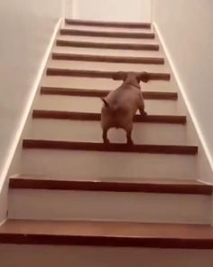 Baby Dachshund, Funny Dachshund, Baby Dogs, Cute Funny Dogs, Cute Funny Animals, Funny Animal Videos, Funny Animal Pictures, Puppies And Kitties, Cute Creatures