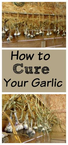 So you are ready to harvest your garlic, now what? Here is a step by step guide on how to dry your own garlic!
