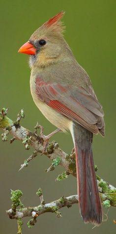 Brian Didrikson | Female Cardinal