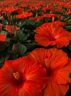 Learn how to grow and care for pretty hibiscus flowers. #hibiscus #flowergardening #plantingflowers #prettyflowers Hibiscus Tree, Hibiscus Garden, Hibiscus Plant, Hibiscus Flowers, Flowers Gif, Pretty Flowers, Colorful Flowers, My Flower, Flower Colour