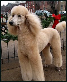 Apricot Standard Poodle - This looks like my Cooper on his best day! Ha.