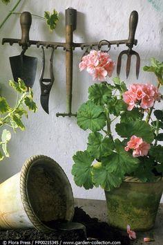 the potting shed.my favorite pink geraniums. Pink Geranium, Flower Pots, Flowers, Cactus Y Suculentas, Plantation, Dream Garden, Garden Pots, Garden Sheds, Garden Inspiration