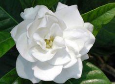 Gardenia Fragrance Oil #fragranceoils #fragranceoil #candlemakingsupplies #gardenia