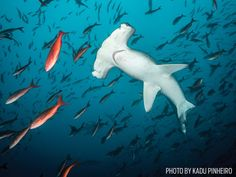 The world's 10 best scuba diving travel destinations for shark diving, including Mexico and South Africa with hammerheads and tiger sharks.