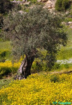 Cyprus Nature Olive tree. If you're a nature lover, or into photography or painting, you'll find much to inspire you.