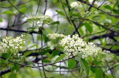 ブラックホーは秋になると紅葉してふだん光沢のある緑の葉は赤紫に変わります。そして甘くてオリーブのような青みがかった黒い実をつけます。実はそのままでも、またジャムやゼリー、ソース、または飲み物としても利用され、何世紀もの間アメリカインディアンはこの実を貴重な食べ物として大切にしていました。 更に、アメリカインディアンはこのブラックホーの根や幹に女性の生理の痛みを軽くしたり、流産を防いだり、産後の痛みを軽減するという効果があることを知っていました