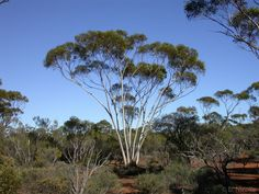 Corymbia Bella 5 Seeds Eucalyptus Weeping Ghost Gum Unique for bonsai//garden
