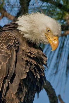 FL2294b Bald Eagle