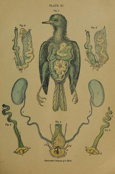 Plate XI. Generative organs of a bird _The origin of life and process of reproduction in plants and animals_ 1902