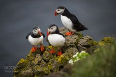 Popular on 500px : Puffins by erwinsigrist