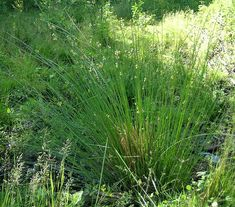 Rushes (Juncus effusus), used in the 18th century to make rushlights.