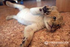 Nasce em zoo o primeiro filhote de leão com cruza de leão e tigre | Animais | Amazônia | Fotos | Multimídia | D24am.com