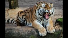 As reported by wildlife conservation society (WCS), A tiger located at Bronx zoo in new york has tested positive to Tiger Pictures, Pictures Images, Hd Photos, World Tiger, Public Domain, Tiger Conservation, Travel Destinations In India, Tube Carton, Tiger Cubs