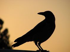 Silhouette Of crow Near Sunset With Turned Head And Finely Detailed Legs And Feet