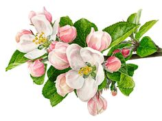 Apple Blossom 2 by Anna Mason