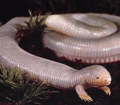 The Mexican Mole Lizard or Baja Worm Lizard is technically neither lizard nor snake, but an Amphisbaenian. These strange, burrowing reptiles commonly lack limbs or even eyes, spending their entire lives underground where they hunt worms and insects. B. biporus is unusual among the group for having a very prominent pair of clawed, mole-like front legs…though it still has no hind limbs at all.