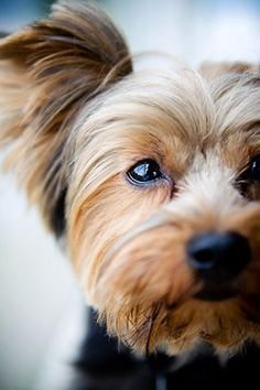 Looks just like my little Sydney ! #yorkshireterrier